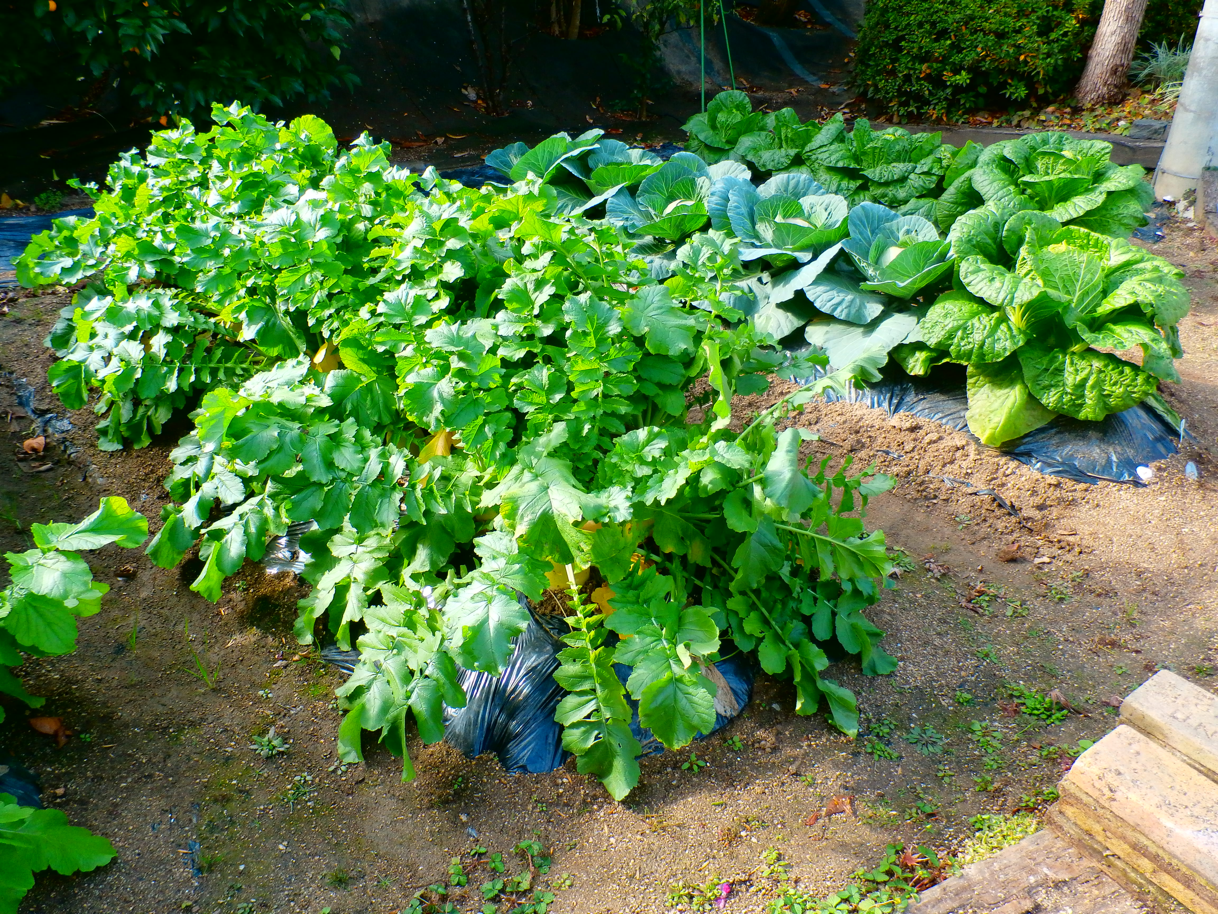 ☆くみのき農園で収穫(平成30年12月17日)☆