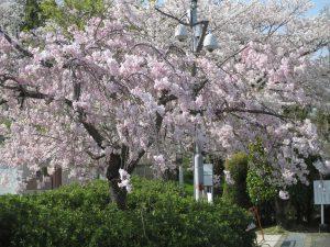 花見 大阪狭山市 西山霊園